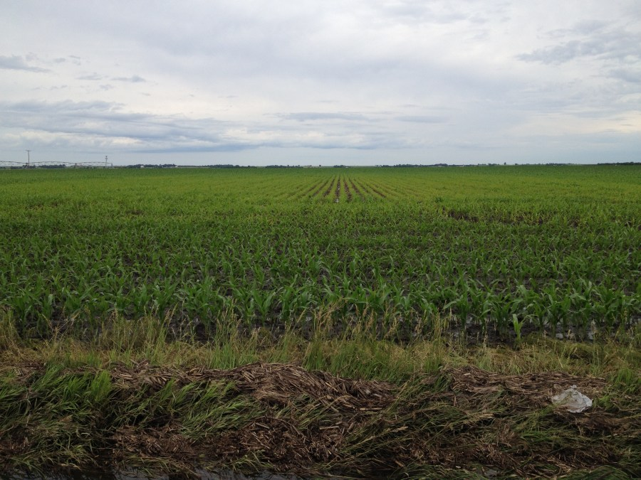 Figure 5. Saturated soils stunting corn growth