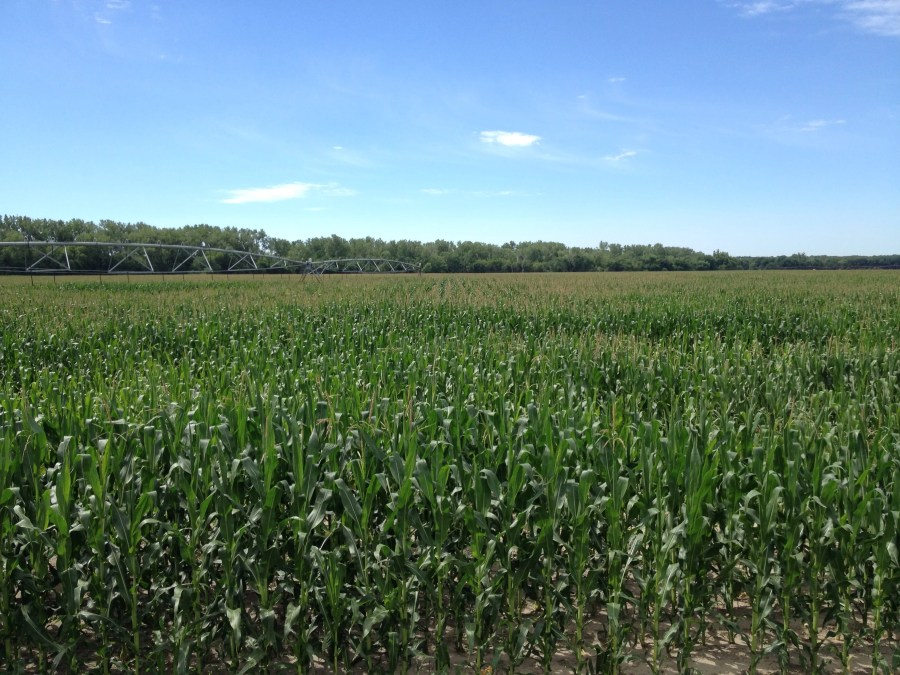 Figure 13. Corn field starting to pollinate on a well-drained sandy soil.