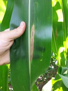 Figure 2. Northern Corn Leaf Blight lesion in Saunders County (Taken by A. Nelson, Nelson Precision Agronomics).