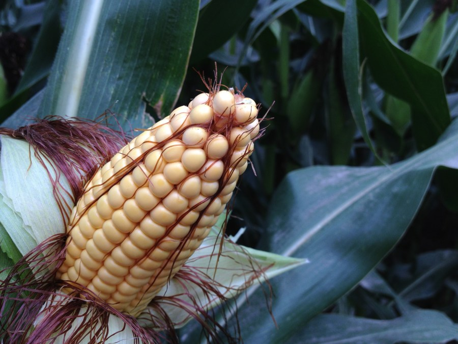 Figure 1. Irrigated corn ear filled out to the tip in the Platte River Valley.