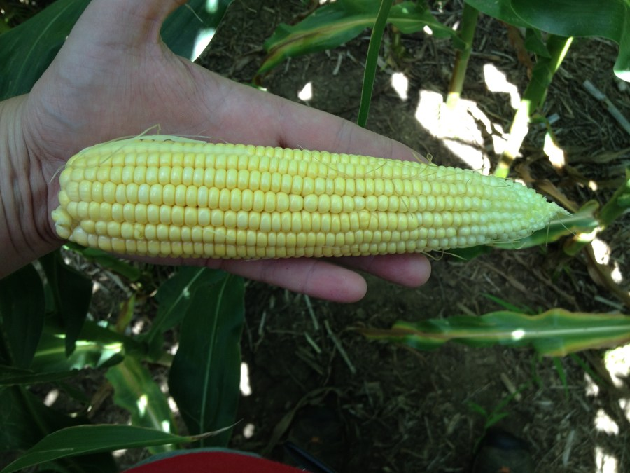 Figure 3. Dryland corn ear from the northwest part of the county.