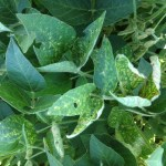 Soybean Variety Selection Success