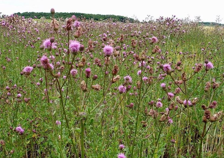 Canada Thistle in a pasture