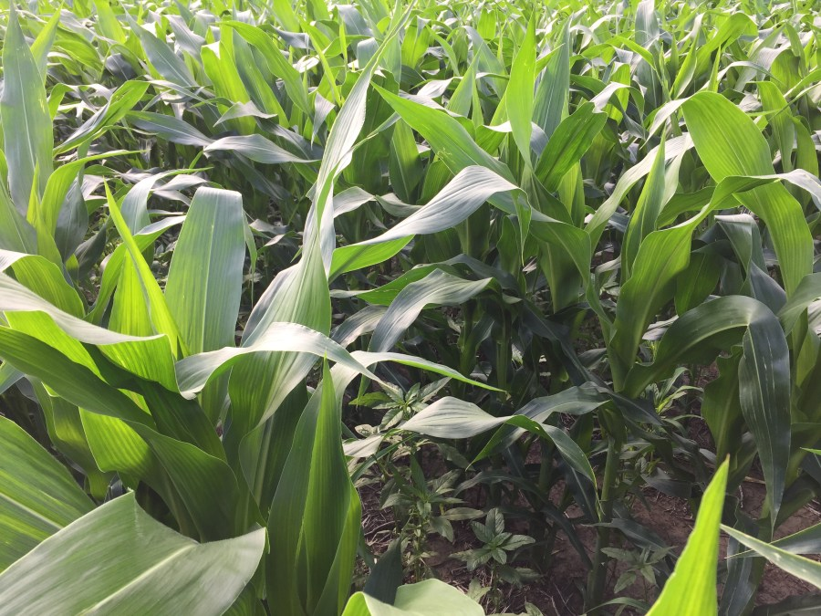 Late planted corn at V11 (11 visible collars) on poorly drained Luton silty clay soil.