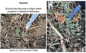 Kochia seedlings