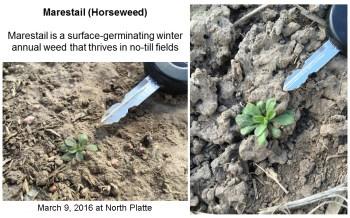 Marestail seedlings