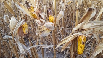 Ear rots in insect-damaged corn