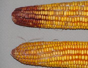 Gibberella ear rot in corn