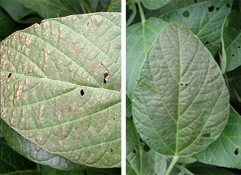Typical leaf bronzing symptoms of Cercospora Blight