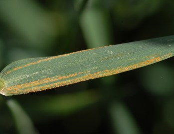 Stripe rust on a wheat leaf