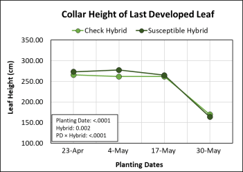 Graph showing the effects of four planting dates and two hybrids on collar height of last developed leaf.