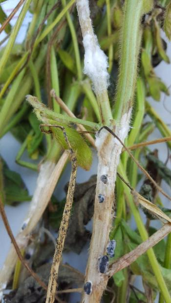 White mold of soybean
