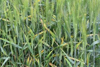 Barley yellow dwarf in wheat
