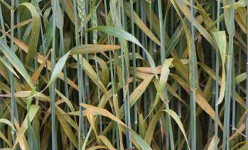 Severe leaf rust in wheat