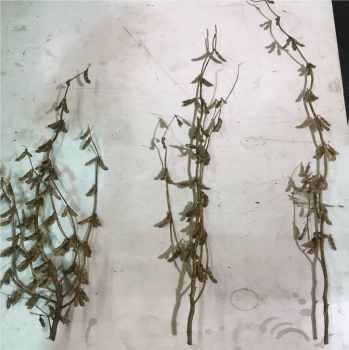 Figure 1. Soybean plant architecture responds to planting population. At lower seeding rates, soybean plants tend to be shorter, have thicker stems, and more branches (left). At higher seeding rates, soybean plants tend to be taller, have thinner stems, and fewer branches (right). (Photo by William Hamman)