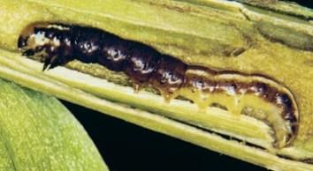 Mature stalk borer larva