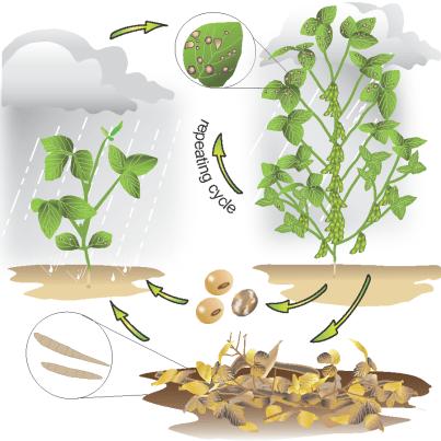 Frogeye leaf spot disease cycle
