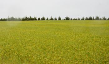 Wheat field with stripe rust