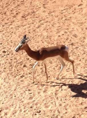 Sprinbok - Antilope sauteuse