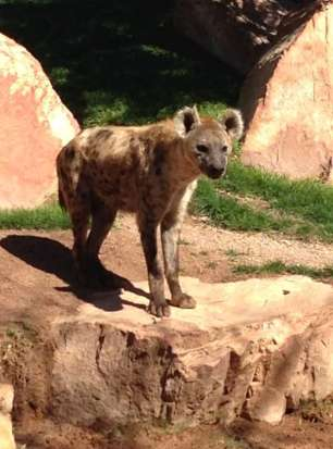 Spotted hyena - Hyène tachetée