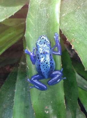 Blue poison dart frog - Dentrobates azureus