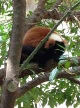 Red ruffed lemur - Vari roux