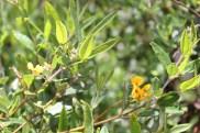 Alpine shaggy pea (Podolobium alpestre)