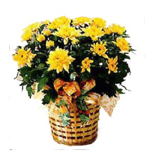 fall mum basket arrangement