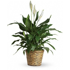 sympathy plant green peace lily