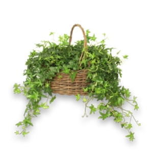 green ivy in basket