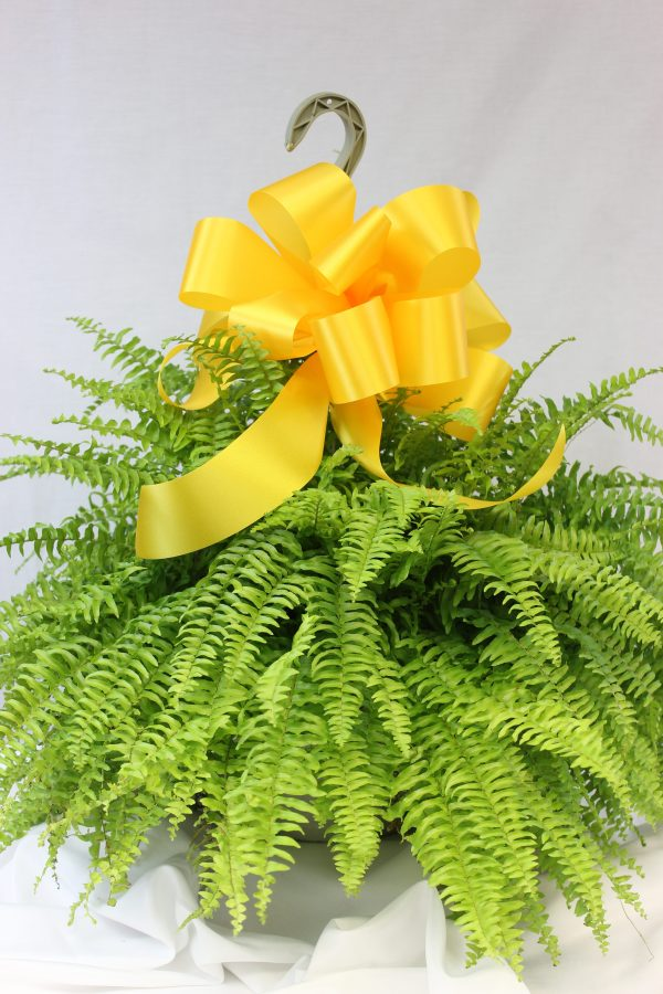 A lovely Boston fern with lush green foliage styled with a satin yellow bow