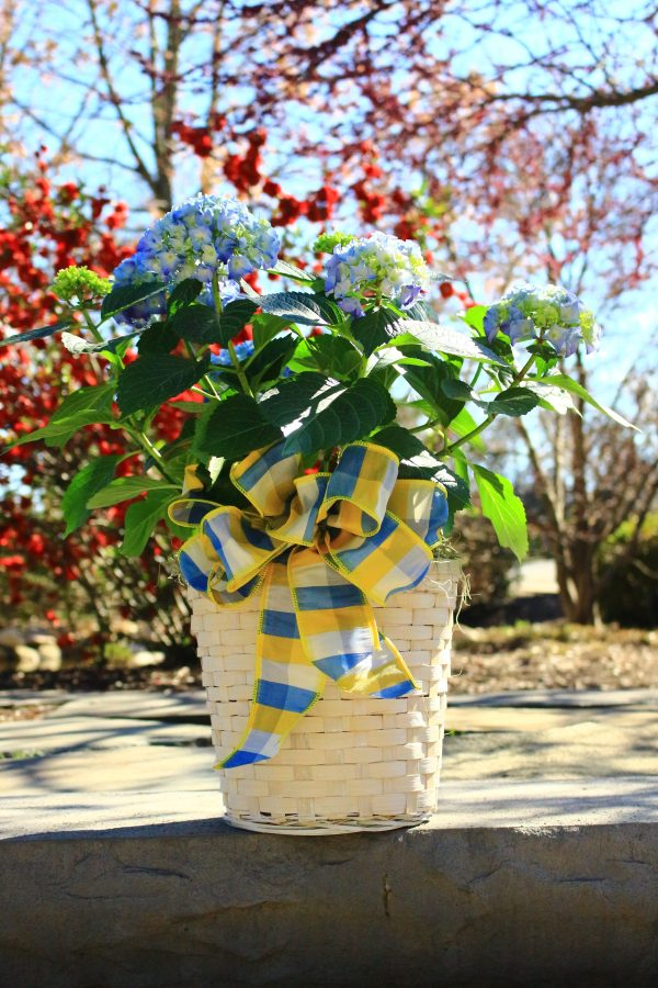 Surprise a loved one with a pink, blue, or white hydrangea dressed up in a wicker basket and a bow.