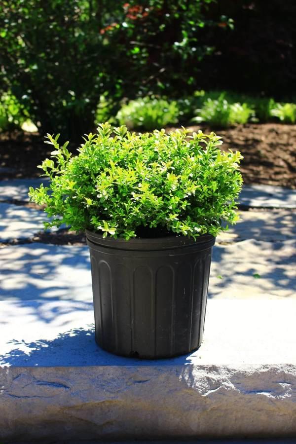 Mounding evergreen