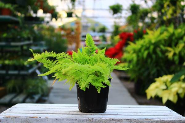 Cotton Candy ferns are bright and lovely as a tabletop plant or in a terrarium!