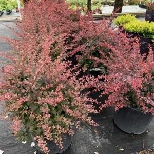 Deep rose-red foliage