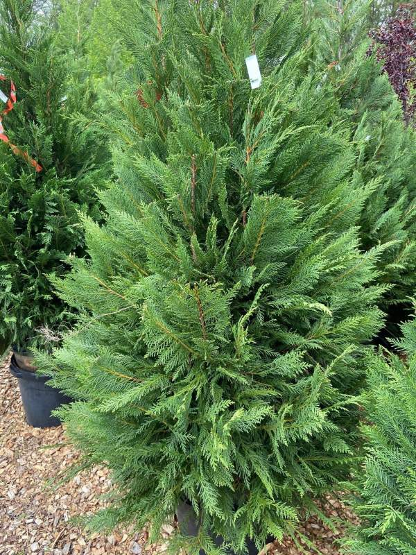 Fast growing evergreen.