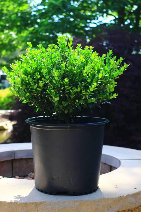 Evergreen shrub