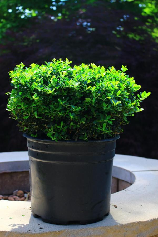 Evergreen dwarf shrub
