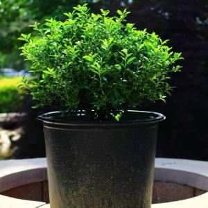 Dark green, soft leaves