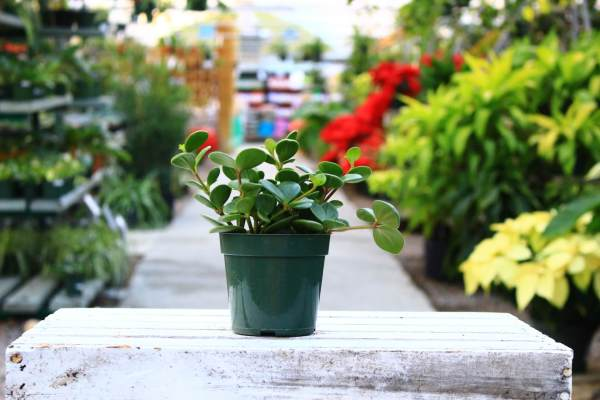 Trailing soft stems and delicate medium to light green leaves.