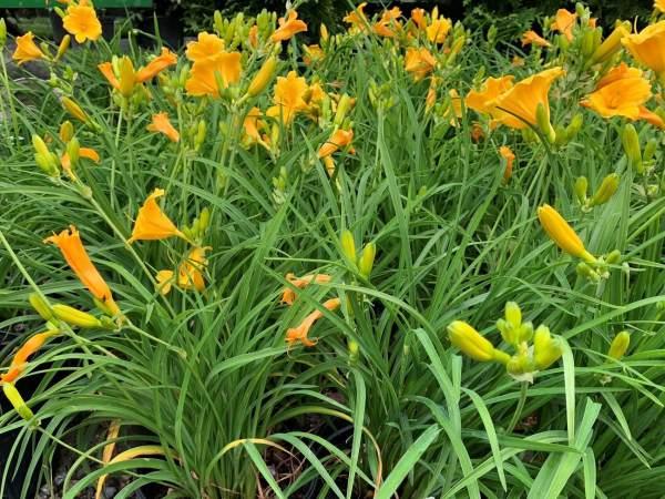 Yellow-gold ruffled flowers