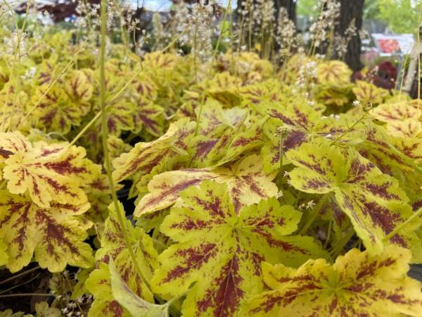 Bright green leaves, deep red splotches