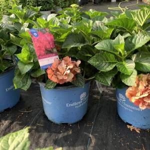 Raspberry red flowers