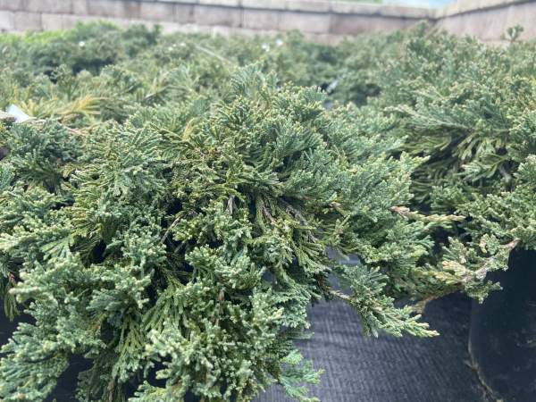 silver-blue evergreen ground cover