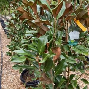Glossy green leaves, rusty underside