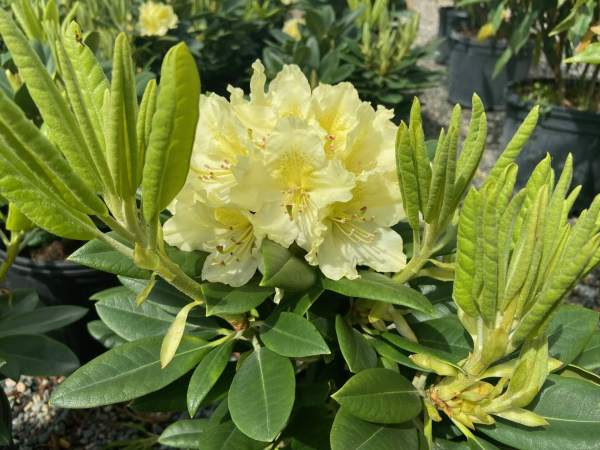 Creamy yellow blooms emerge mid-spring