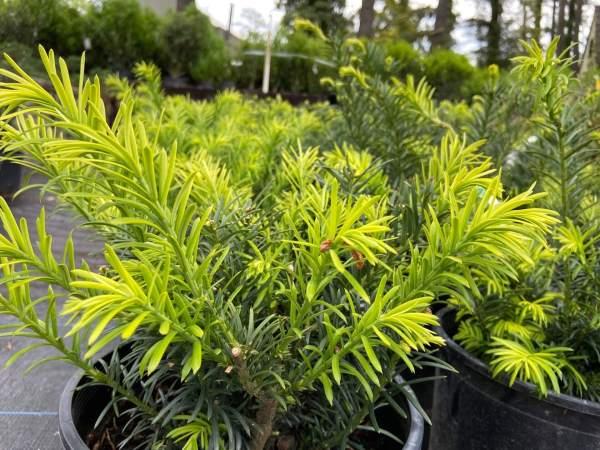 Compact, dark green, needle-like foliage