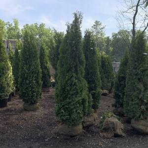 """Pyramidal in habit with """"emerald"""" green foliage all year round"""