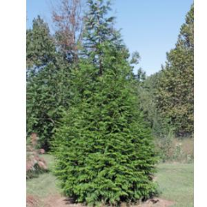 A fast growing, hardy evergreen