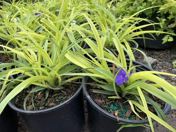 Perennial plant produces bright purple/blue flowers atop long, thin light yellow/green leaves